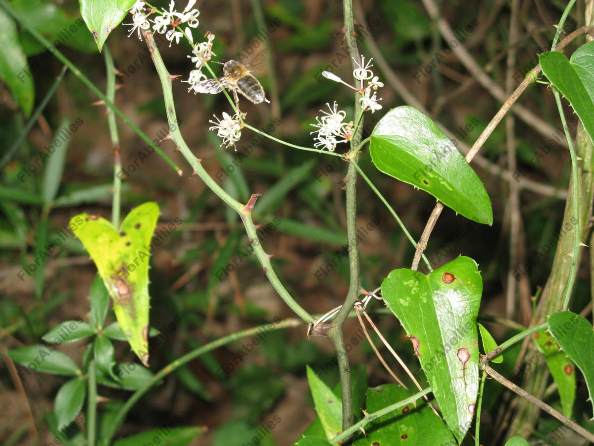 smilax dating 1 (plants) any typically climbing shrub of the smilacaceous genus smilax, of warm and tropical regions, having slightly lobed leaves, small greenish or yellow flowers, and berry-like fruits: includes the sarsaparilla plant and greenbrier.